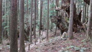 株杉の森ハイキング
