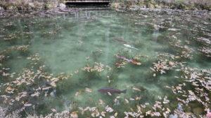 モネの池夕方