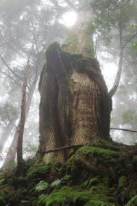 玉置神社杉
